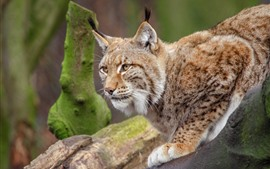Wildlife, lynx, paws
