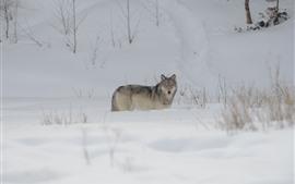 Aperçu fond d'écran Loup, neige, hiver, froid