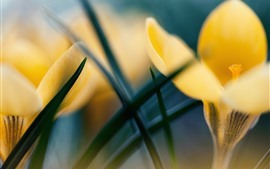 Preview wallpaper Yellow crocus, hazy