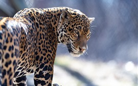Zoo animal, jaguar, look back