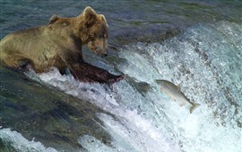 Preview wallpaper Bear want to catch fish, water, river