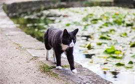 Gato negro caminando, estanque