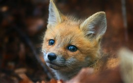Preview wallpaper Cute little fox look at you, eyes, face, ears