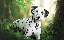 Dalmatian, black and white, dog, leaves