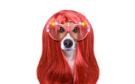 Preview wallpaper Funny animal, dog, hairstyle, glasses