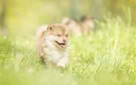 Filhote de cachorro peludo, grama verde, verão