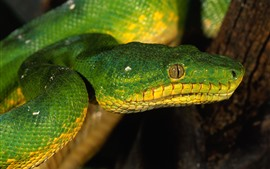 Green snake, head, eye
