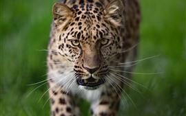 Leopardo, cara, fondo verde