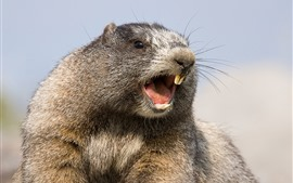 Preview wallpaper Marmot, rodent, teeth