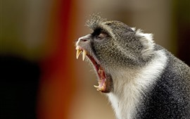 Monkey yawn, mouth, teeth