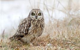 Preview wallpaper Owl, ground, grass, hazy