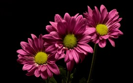 Preview wallpaper Pink flowers, chrysanthemum, black background