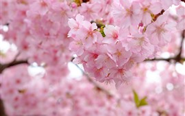 미리보기 배경 화면 핑크 사쿠라 꽃, 봄, 아름 다운