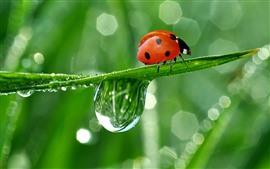 Joaninha vermelha, folha verde, gotículas de água
