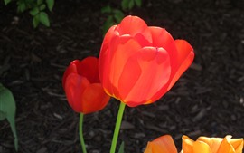 Tulipas vermelhas close-up, flores da Primavera