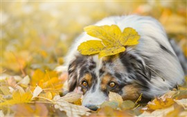 Sadness dog, yellow leaves, autumn