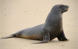 Sea lion, beach