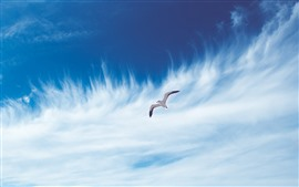 Seagull flight, sky, white clouds