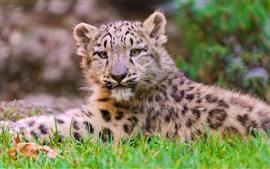 Filhote de leopardo da neve, grama, descanso, olhar