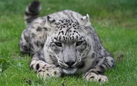 Leopardo da neve, grama, descanso, rosto