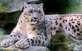 Snow leopard, wildlife, rocks