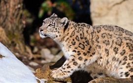 Snow leopard, winter, wildlife