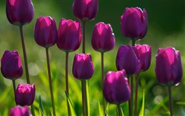 Some purple tulips, green background