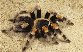 Spider, sands