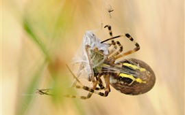 Preview wallpaper Spider, web, insect