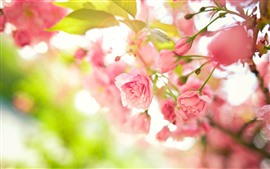 Spring, pink flowers bloom, hazy