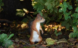 Preview wallpaper Squirrel standing up, leaves