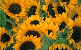 Preview wallpaper Sunflowers, yellow flowers, summer