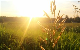 Preview wallpaper Sunrays, glare, wheat, fields, morning