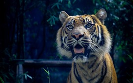 Preview wallpaper Tiger surprised, face, open mouth