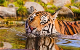 Preview wallpaper Tiger swimming in water, face