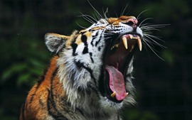 Preview wallpaper Tiger yawn, open mouth, teeth