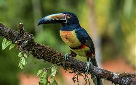 Preview wallpaper Toucan, colorful feathers, tree branch