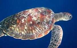Tartaruga, fundo azul