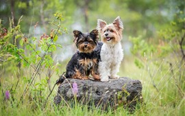 Preview wallpaper Two furry dogs, stone, grass