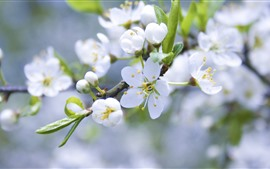 Preview wallpaper White apple flowers, twigs, spring, hazy