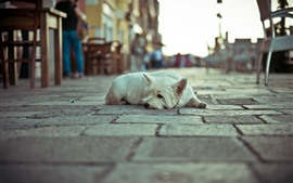 Preview wallpaper White dog rest, street