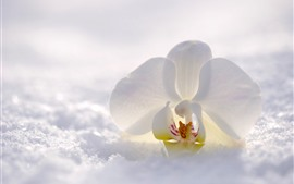 Preview wallpaper White phalaenopsis, snow