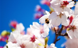Preview wallpaper White sakura, petals, bee, hazy