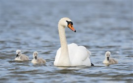 Preview wallpaper White swan family, lake