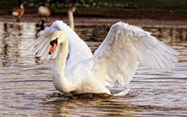 White swan, open wings, lake, water splash