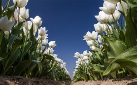 Preview wallpaper White tulips, flowers field, blue sky