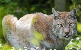 Preview wallpaper Wild cat, lynx, white flowers
