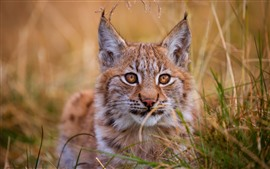 Preview wallpaper Wildcat, lynx, grass, face, eyes, ears