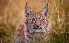 Wildcat, lince, grama, face, olhos, orelhas
