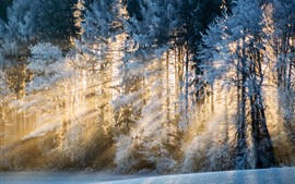 Winter, trees, snow, sun rays, morning
